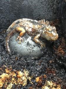 L'Iguane au refroidissement